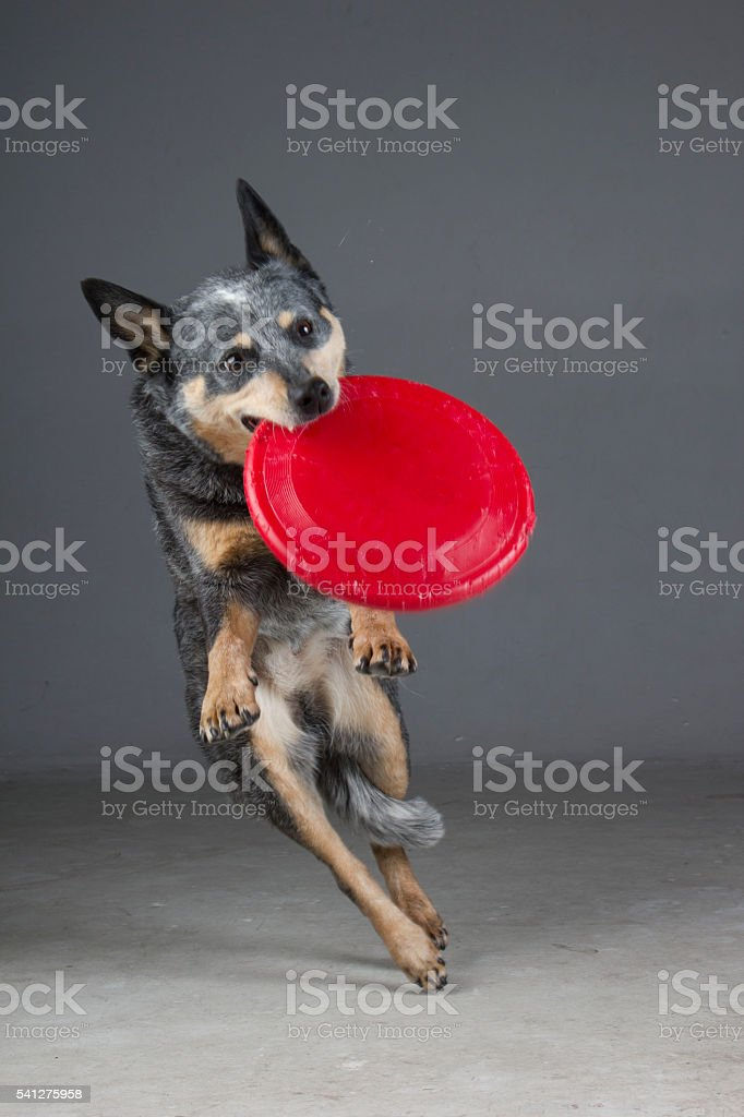 Blue Heeler catching red Frisbee stock photo