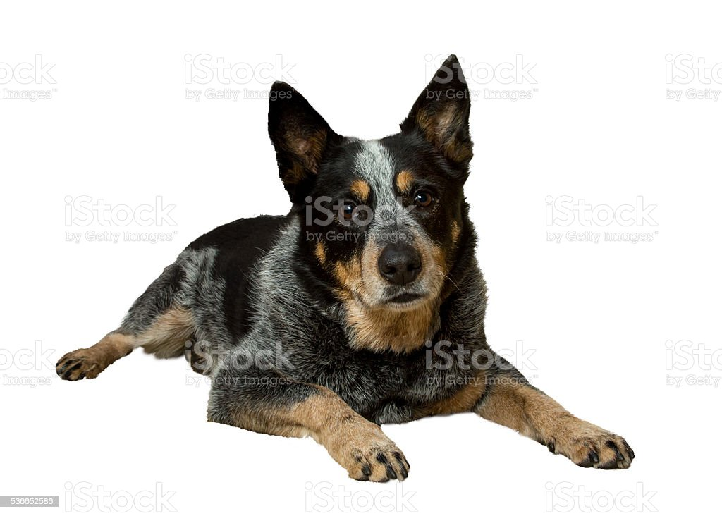 blue heeler dog stock photo