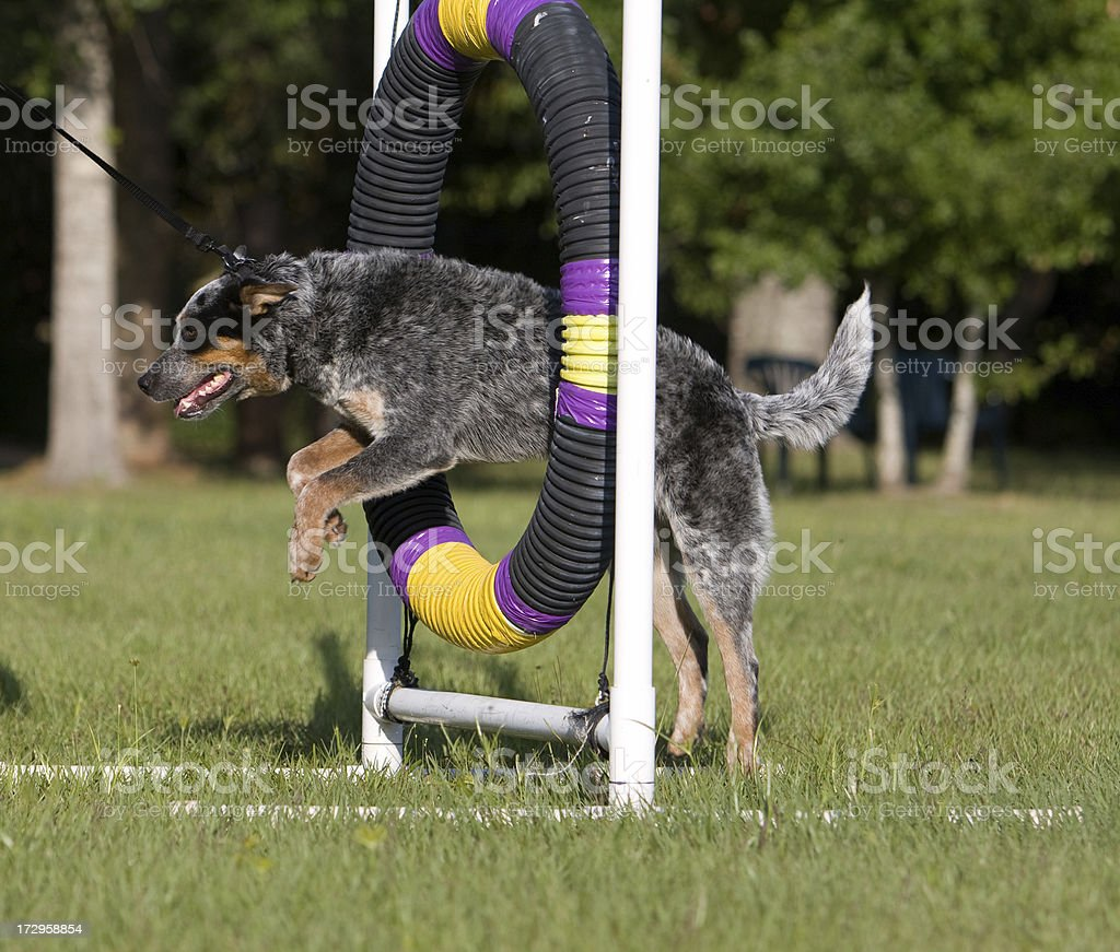 Blue Heeler Jumping Through Hoop stock photo