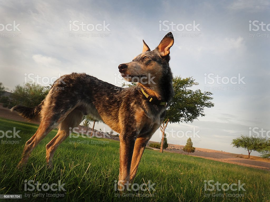 Blue Heeler Mix body shot on grass stock photo