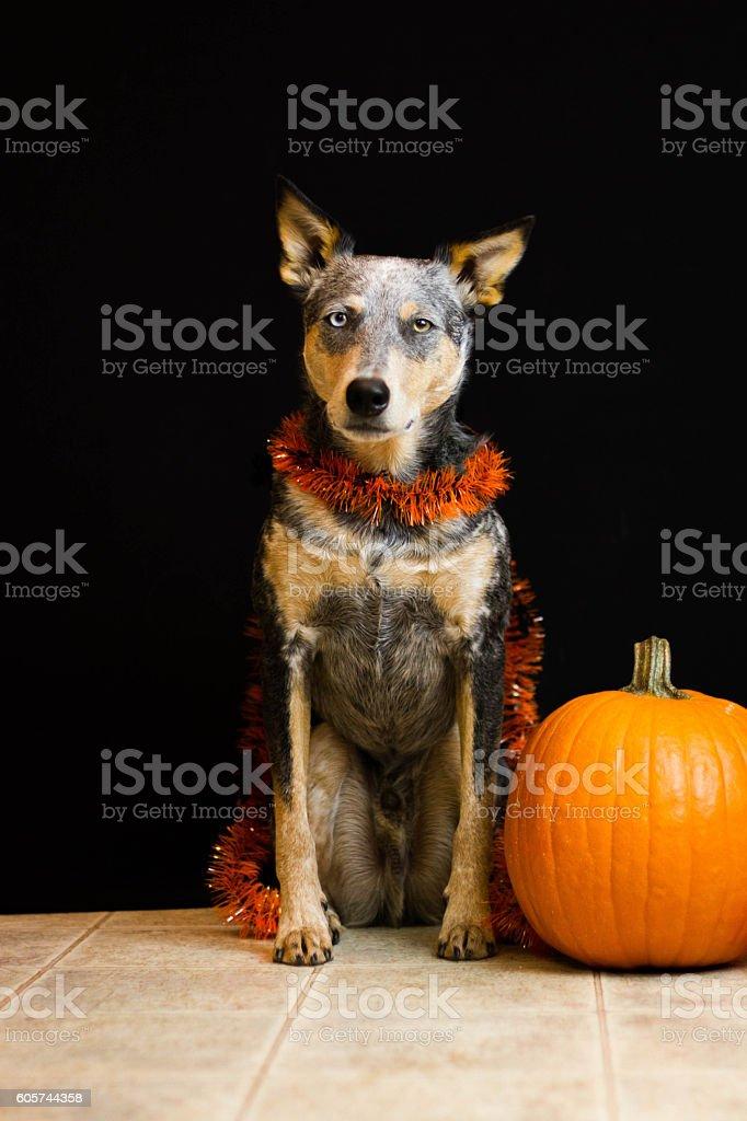 Blue Heeler Mix dog next to pumpkin stock photo