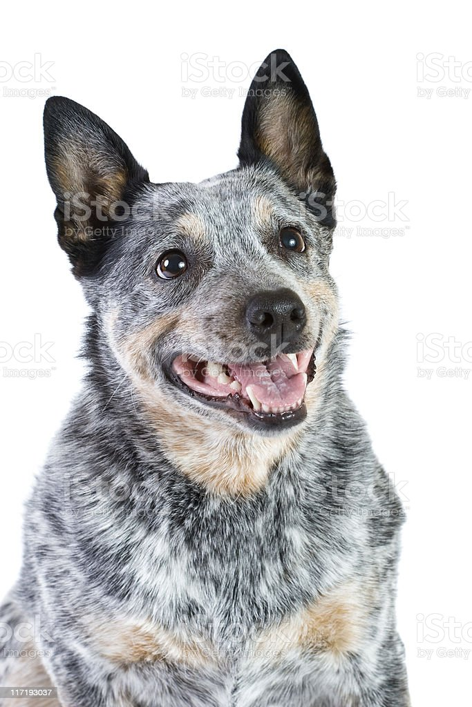Blue Heeler stock photo