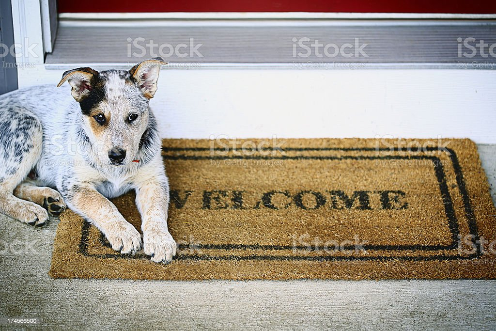 Blue Heeler puppy laying on welcome mat on porch stock photo