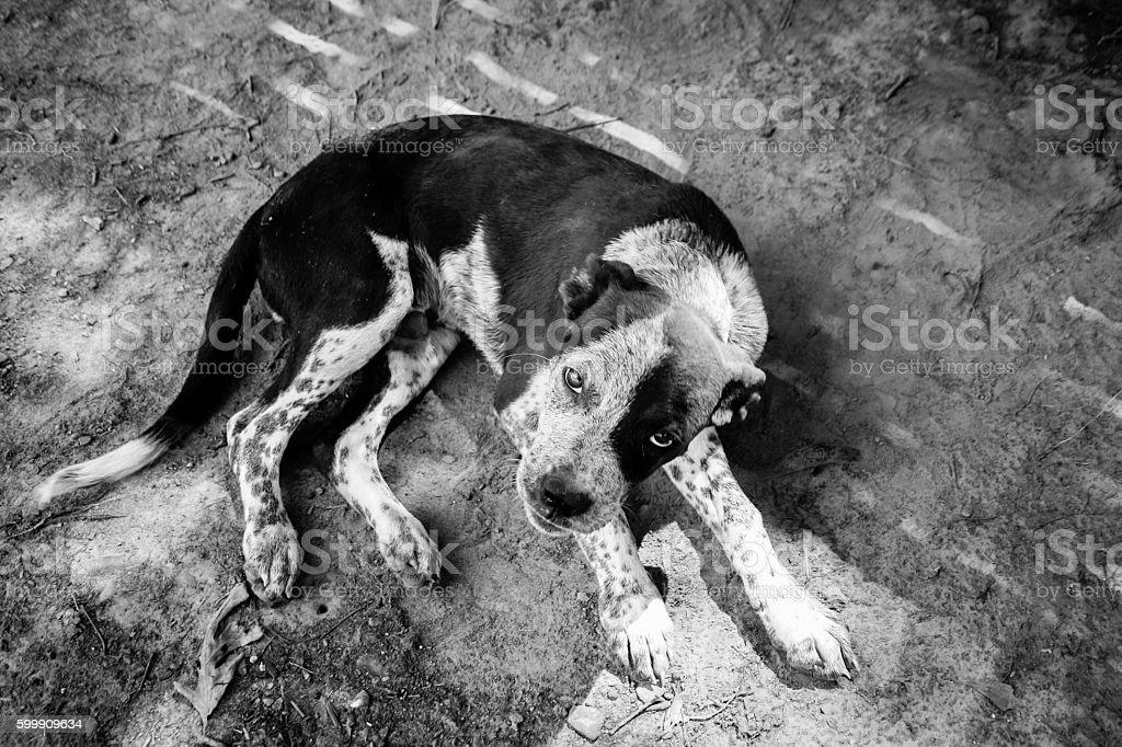 Blue Heeler puppy looking guilty stock photo