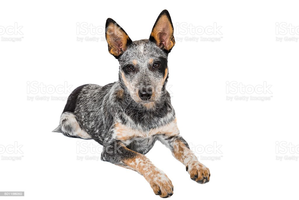 Blue Heeler Puppy stock photo
