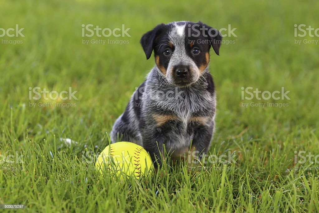 Blue Heeler (Australian Cattle Dog) Puppy with Baseball stock photo
