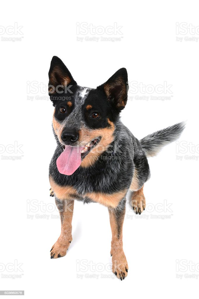 Blue Heeler Sitting stock photo
