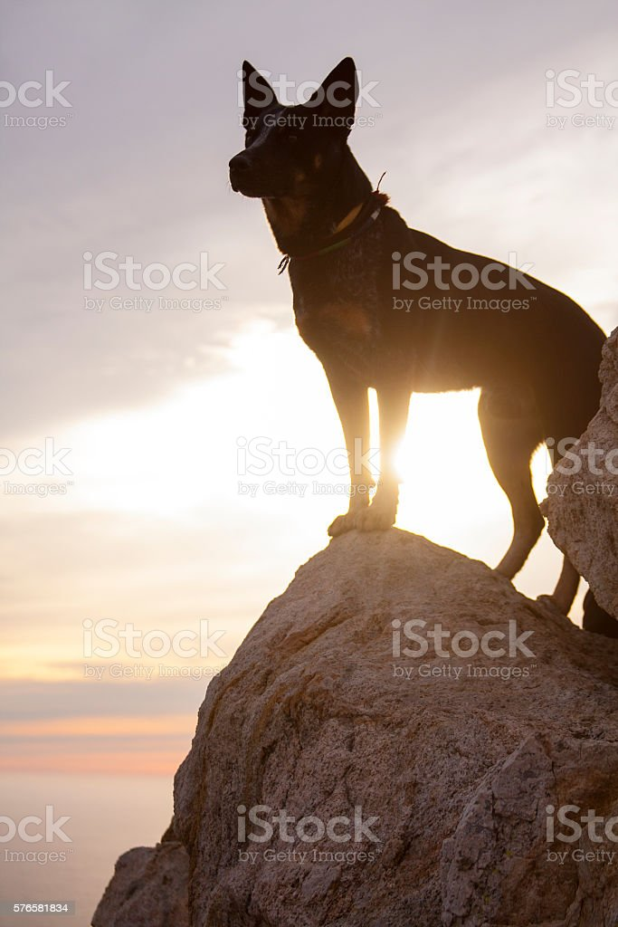 Blue Heeler Sunset stock photo