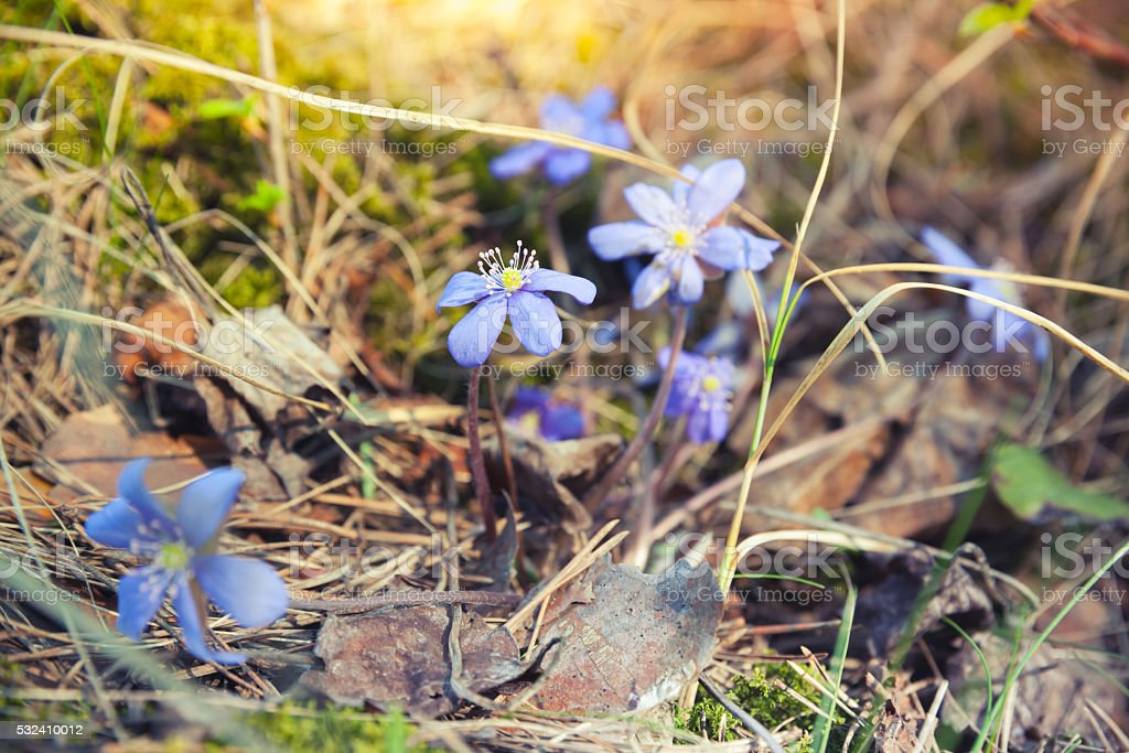 Blue Hepatica flowers in the forest, spring time stock photo