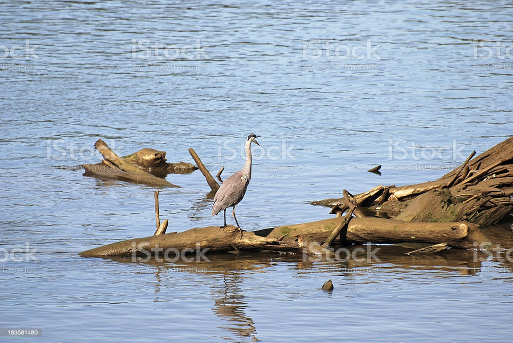 Blue heron calling from snag on river royalty-free stock photo