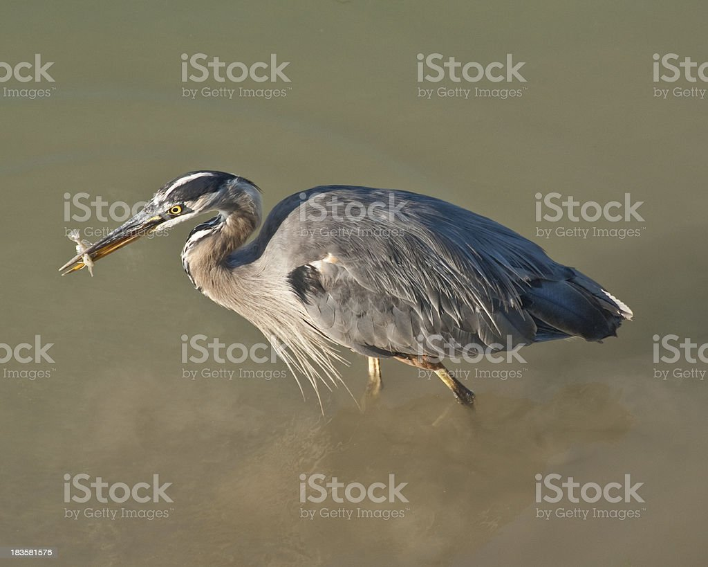 Blue Heron Catching a Fish in the River royalty-free stock photo