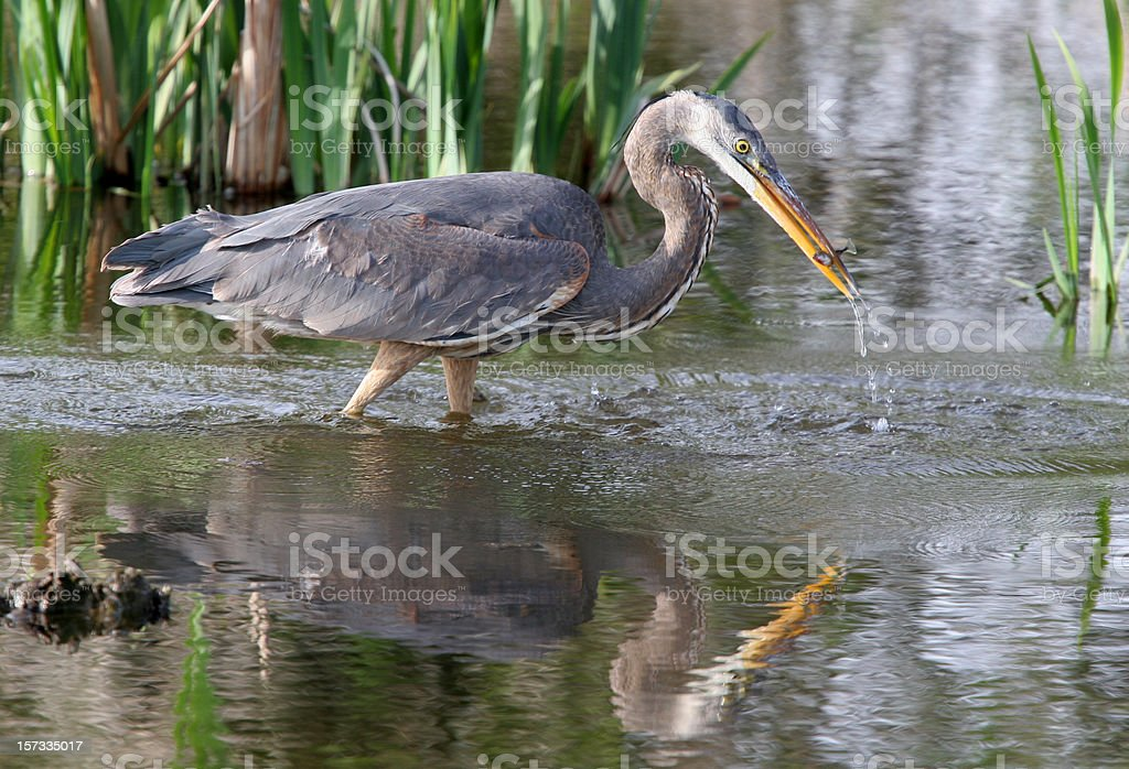 blue heron fishing stock photo