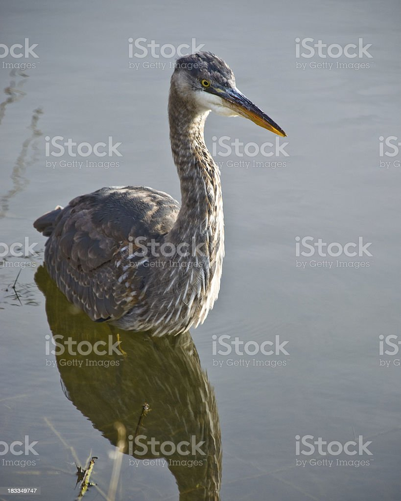 Blue Heron Hunting in the Water royalty-free stock photo