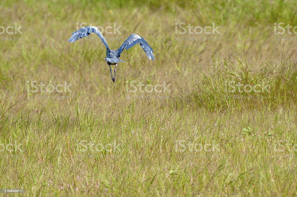 Blue heron in flight. royalty-free stock photo