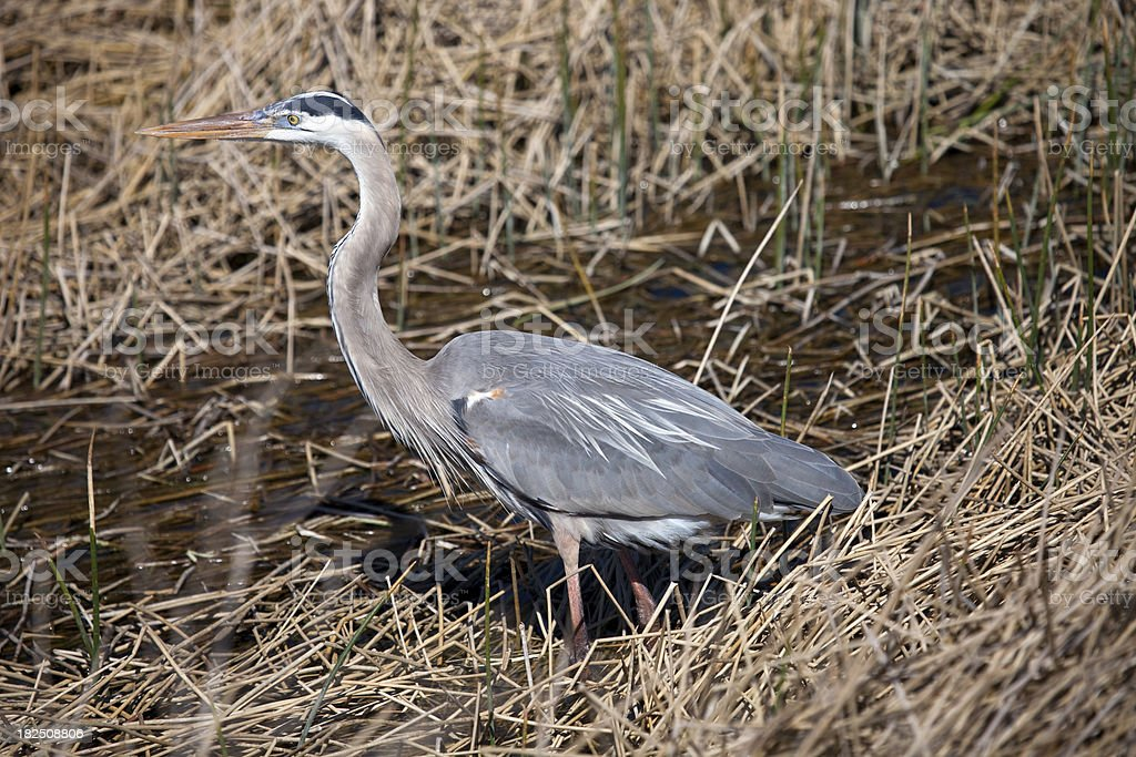 Blue Heron in Florida stock photo