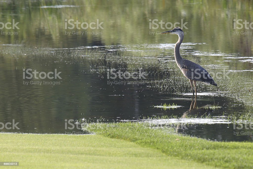Blue Heron in pond on golf course. royalty-free stock photo