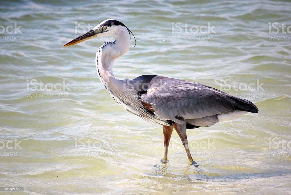 blue heron Lovers Key FL by Lisa Woodburn stock photo