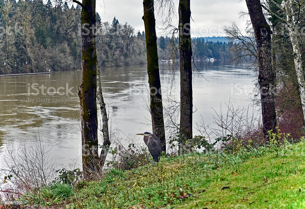 Blue Heron on the bank of swollen Willamette River stock photo