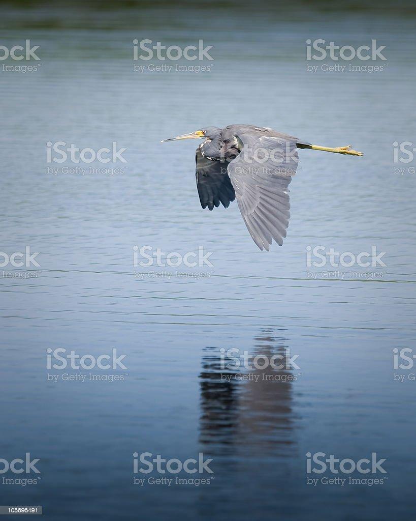 Blue Heron stock photo