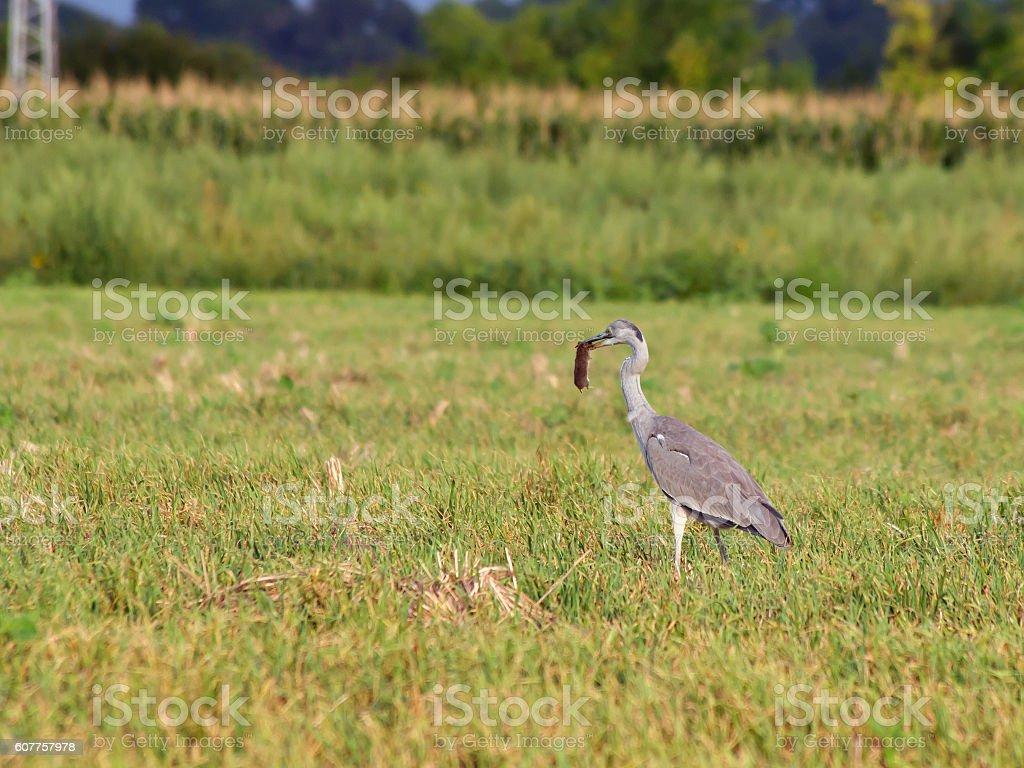 Blue heron  (Ardea cinerea) . stock photo