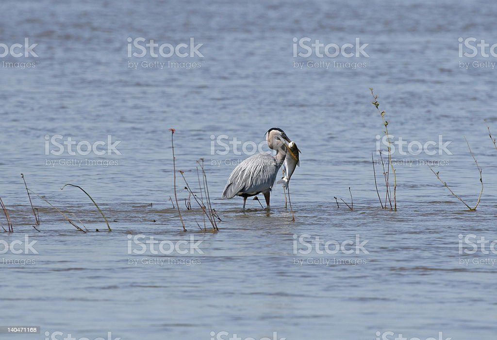 Blue Heron with a huge fish royalty-free stock photo
