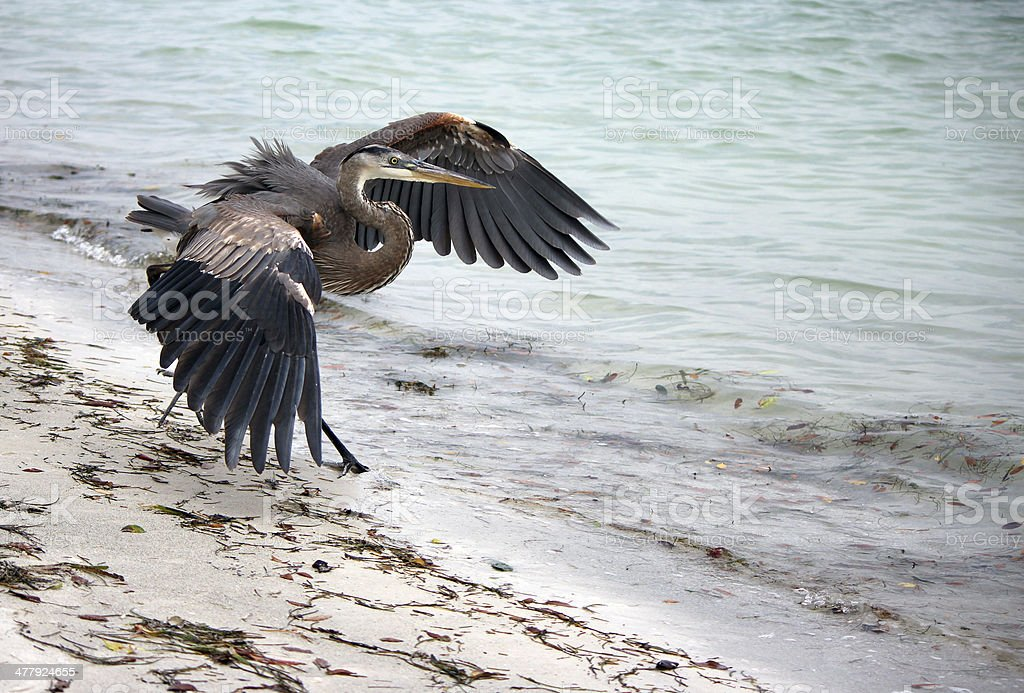 Blue Heron with Wings Spread, on beach, Siesta Key, Florida stock photo