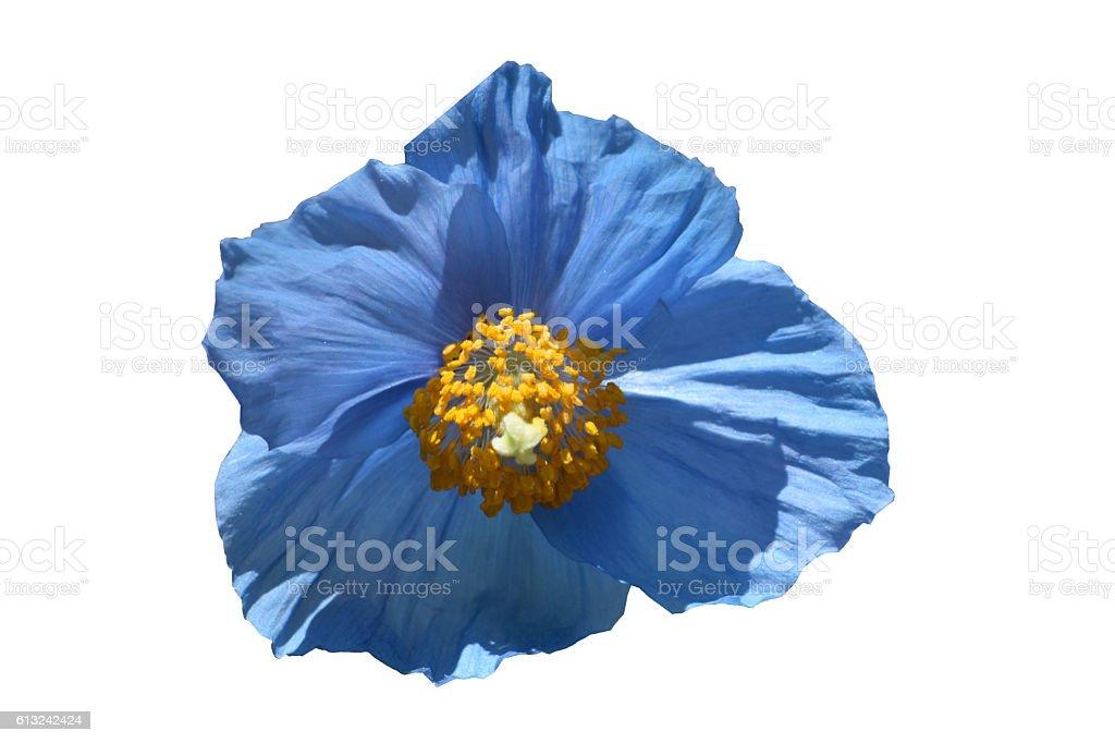 Blue Himalayan poppy, isolated stock photo