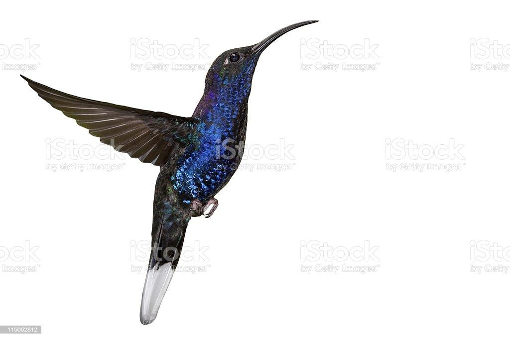Blue hummingbird in flight stock photo