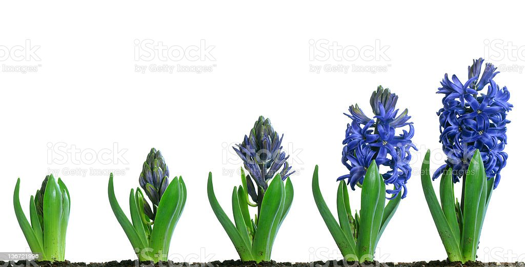Blue Hyacinth Blooming stock photo