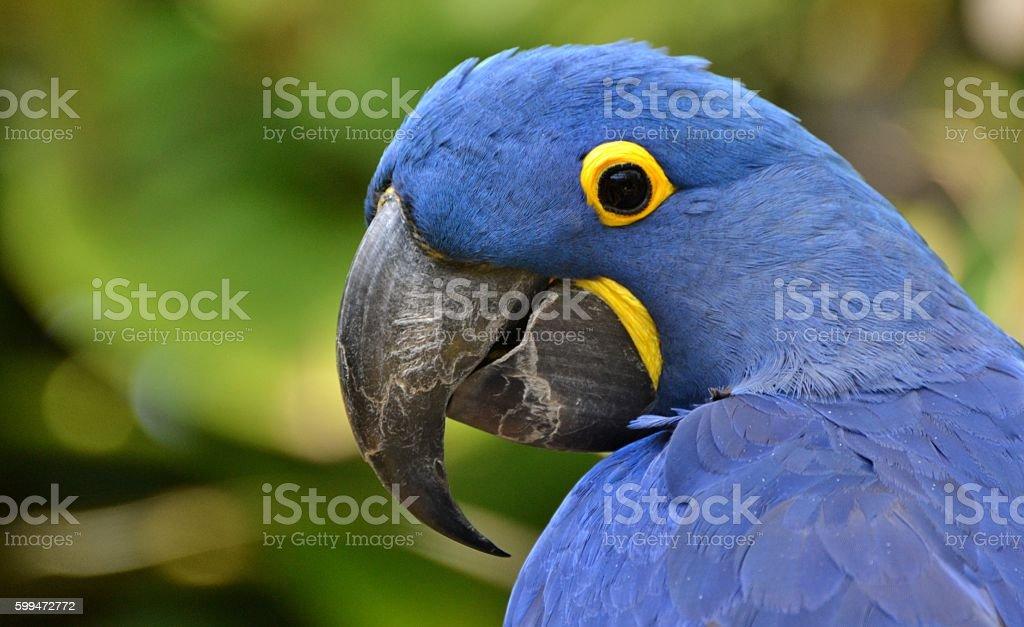 Blue Hyacinth Macaw stock photo