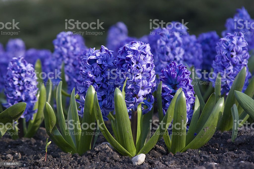 Blue hyacinth royalty-free stock photo