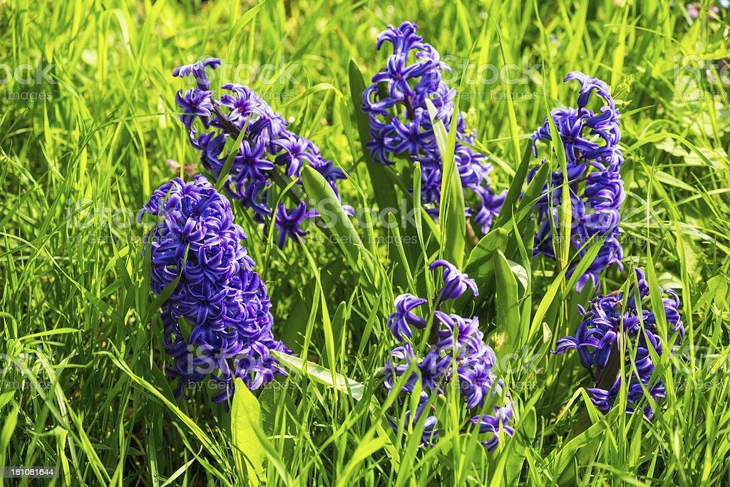 Blue hyacinth royalty-free stock photo