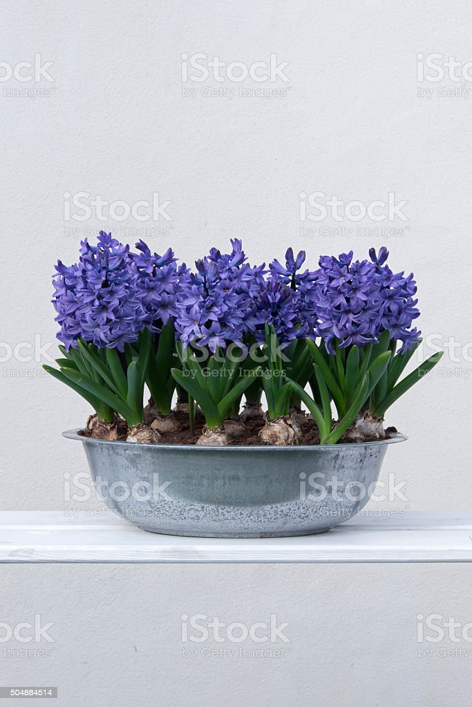Blue hyacinths in a bowl stock photo