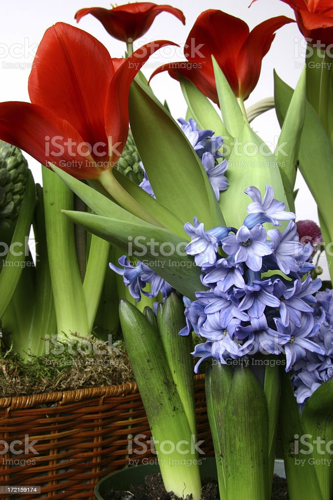 Blue Hyacinths & Red Tulips stock photo