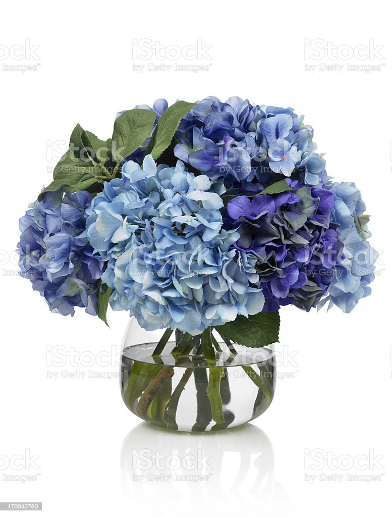 Blue hydrangea bouquet on white background stock photo