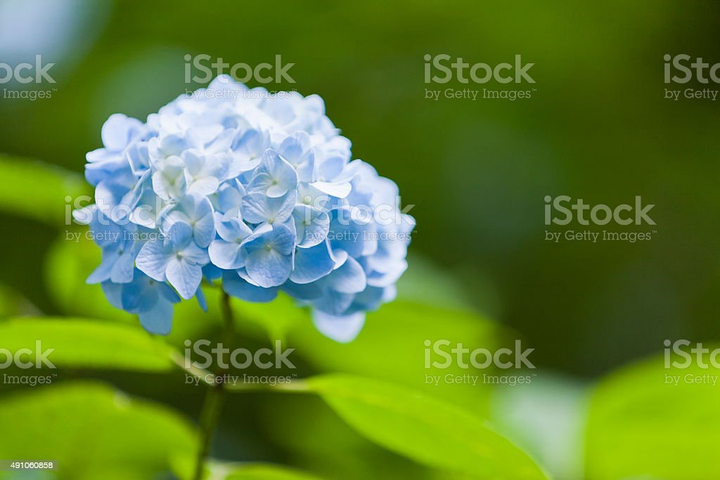 Blue Hydrangea Flower stock photo
