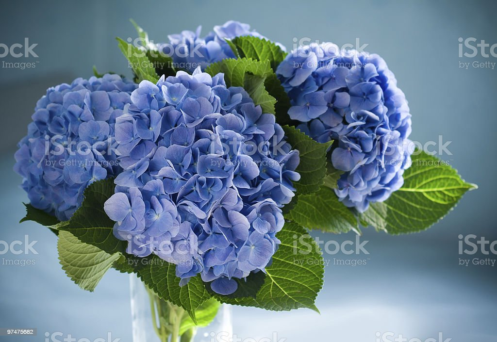 Blue Hydrangea in a clear vase against a blue lit background stock photo
