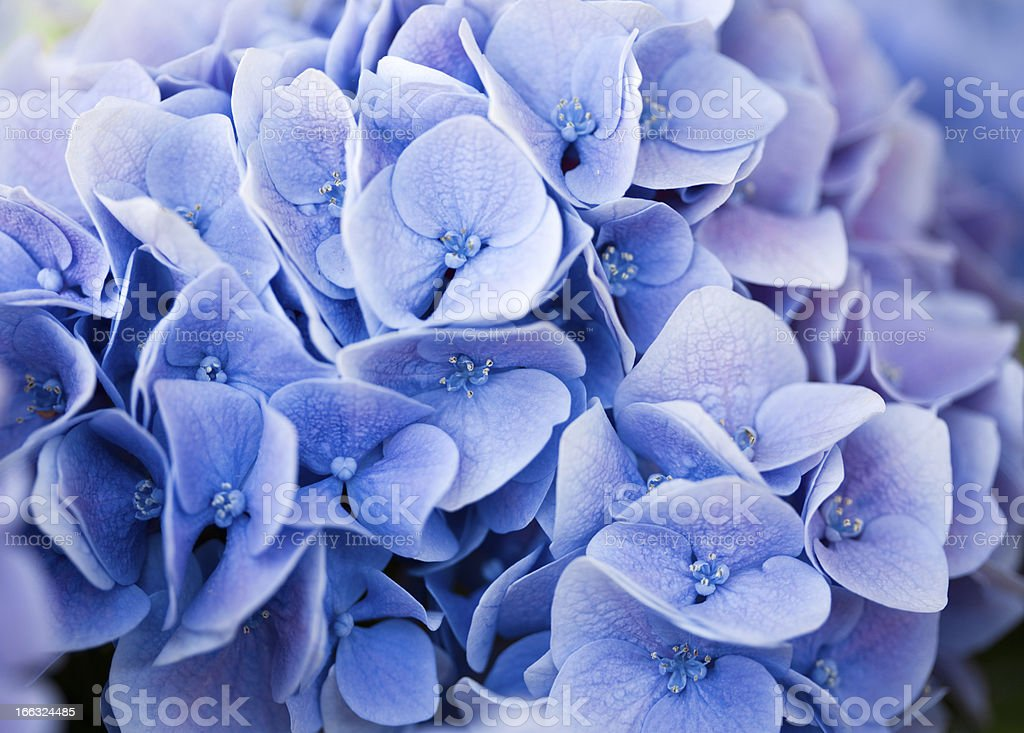 blue hydrangea royalty-free stock photo