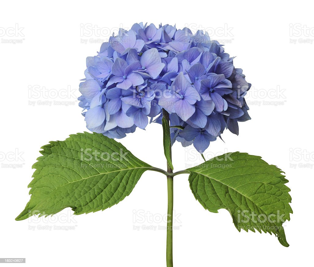 Blue hydrangea with green stem on white background stock photo