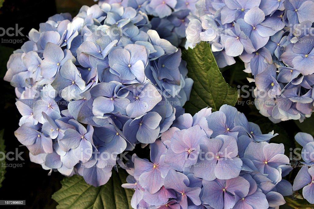 Blue Hydrangeas royalty-free stock photo