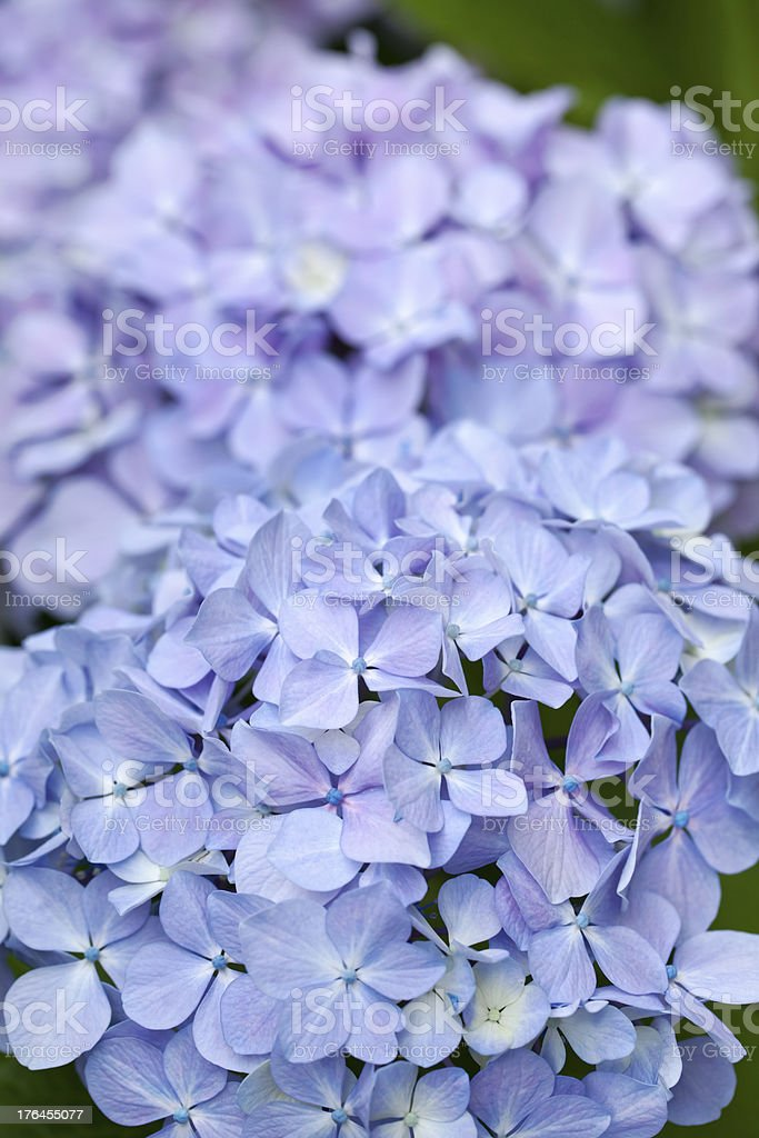 Blue hydrangeas stock photo