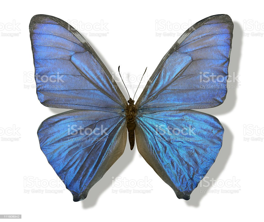 blue iridescent butterfly royalty-free stock photo