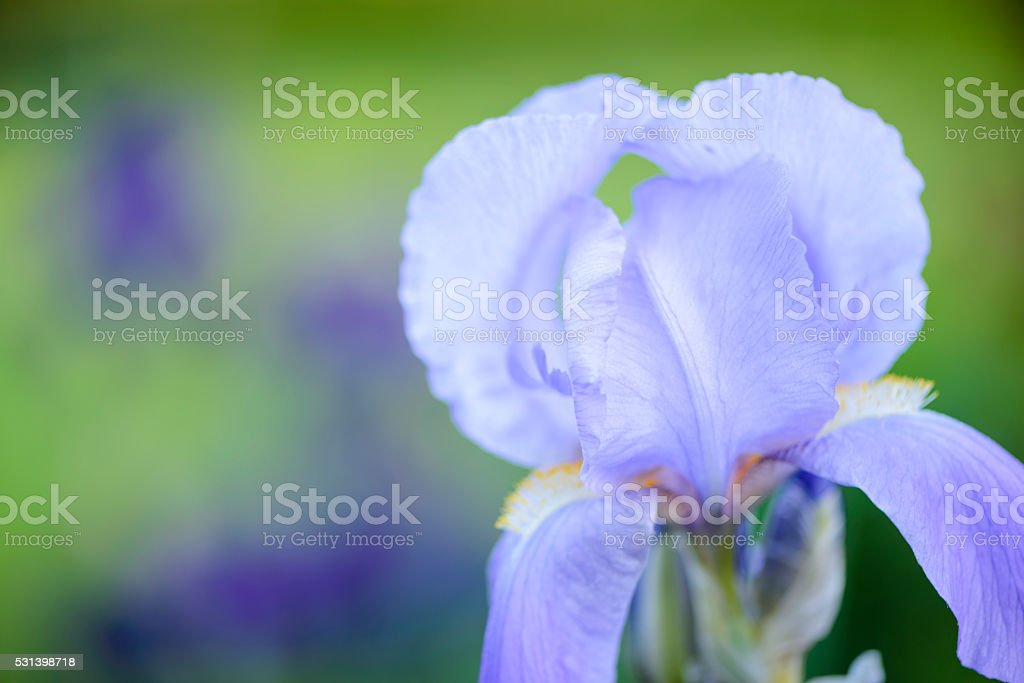 Blue iris  against an out of focus background. stock photo