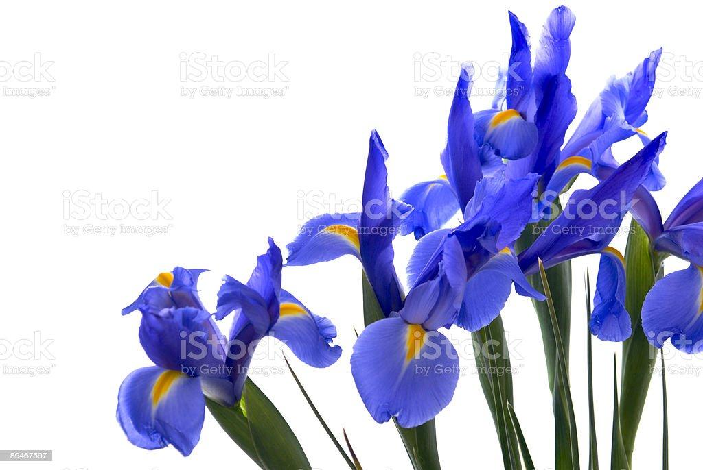 Blue Iris Flower Border on an Isolated White Background royalty-free stock photo