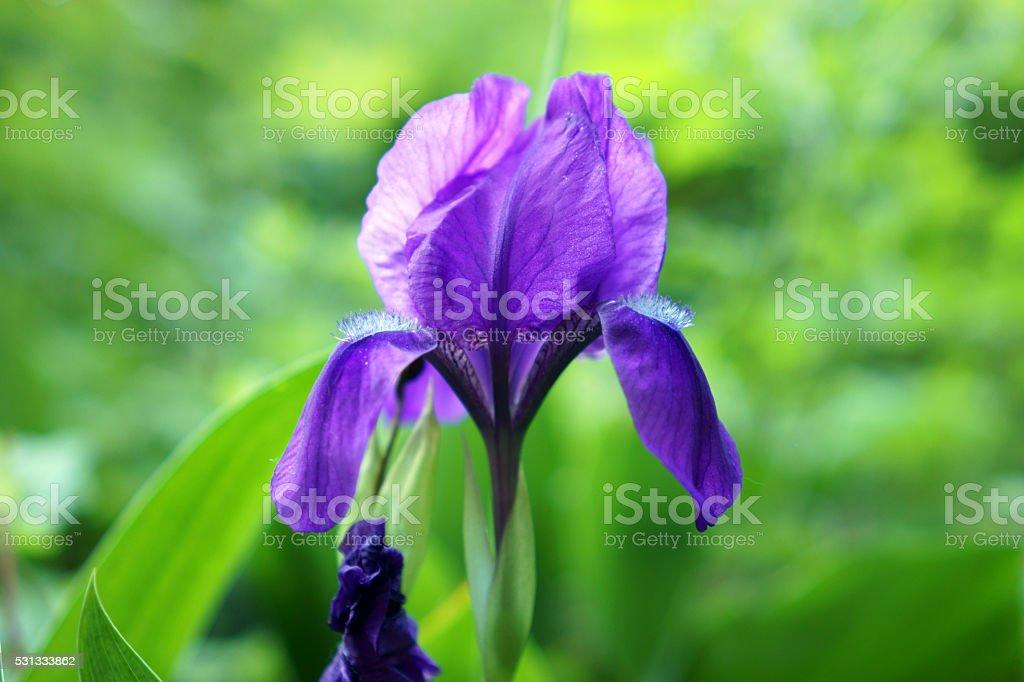 Blue iris flower on green background stock photo