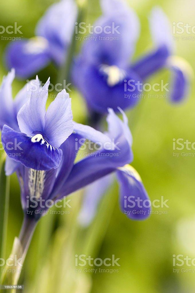 Blue Iris stock photo