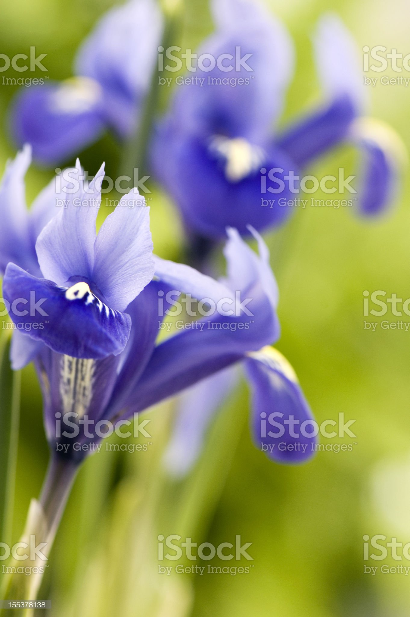Blue Iris royalty-free stock photo