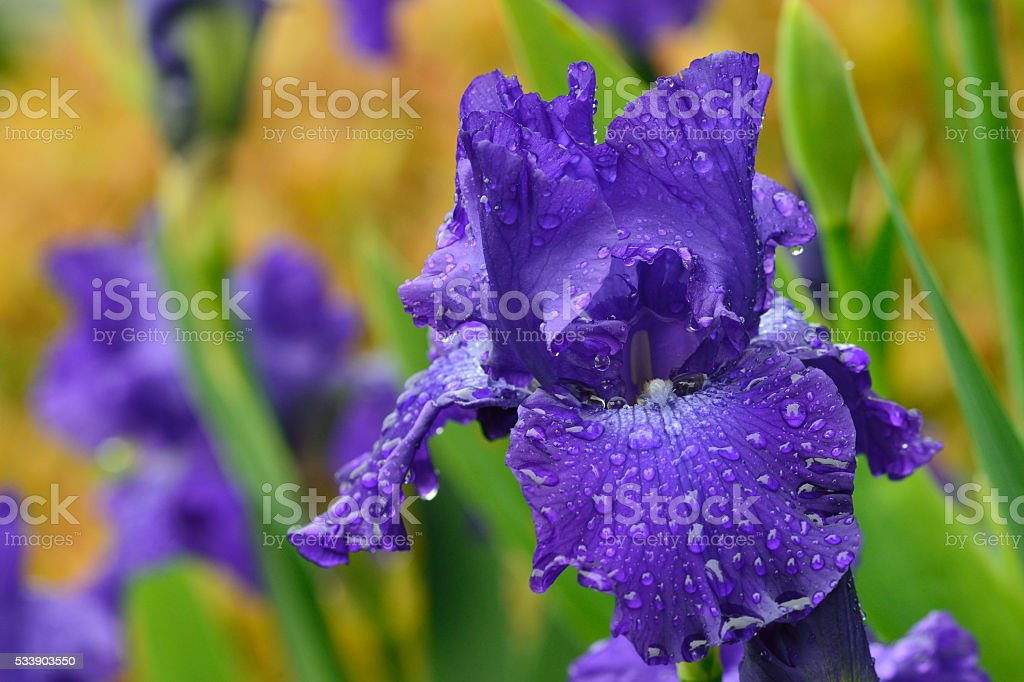 Blue iris stock photo