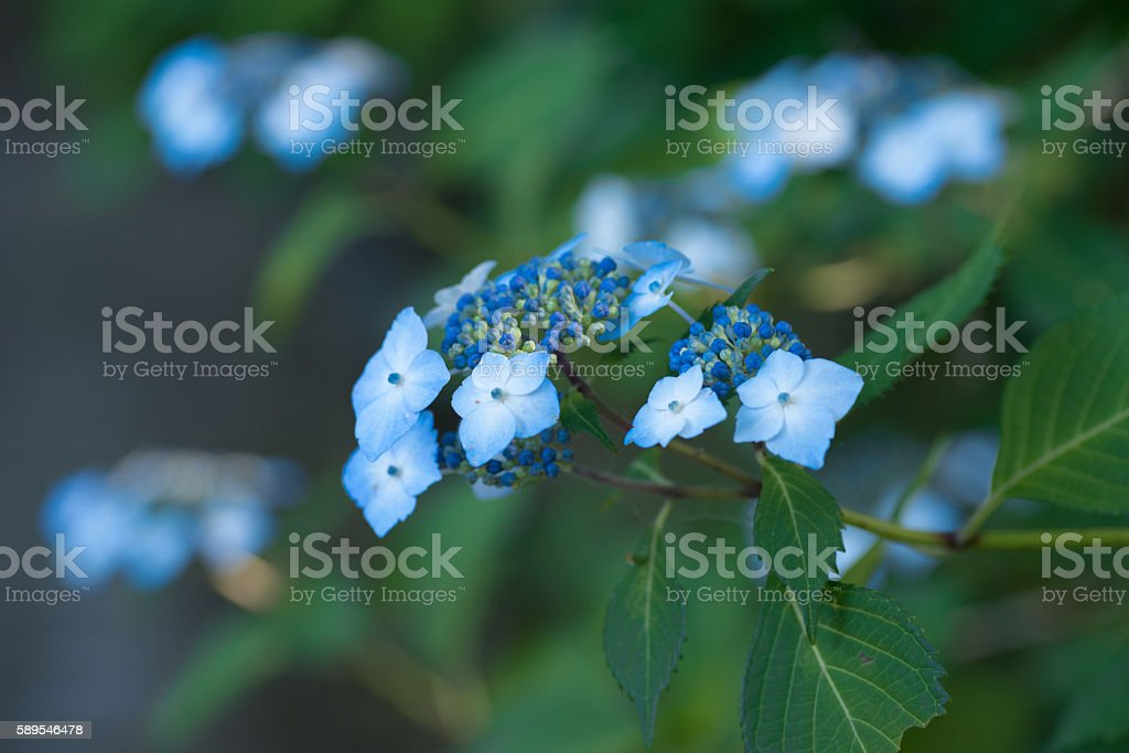 Blue Japanese hydrangea stock photo