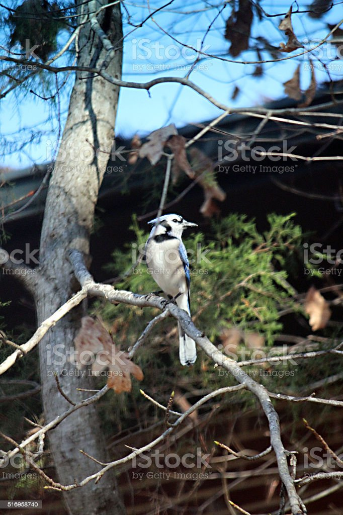 Blue Jay Bird Perched on Branch stock photo